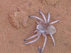 Day 5 Hervorgelockte Spinne in Namibia