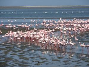 Flamingos-Namibia