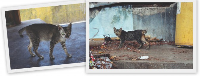 Katzen ohne Schwanz