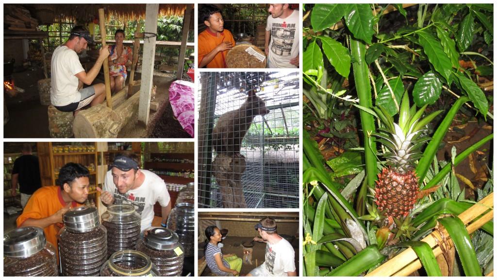Luwak-Kaffee-Bali